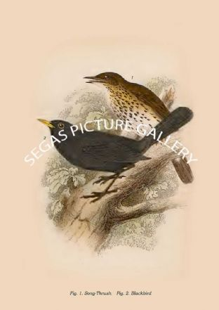 Song-Thrush - Blackbird